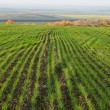 Field with winter crops — Stock Photo
