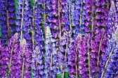 Pozadí fialový vlčí květin — Stock fotografie