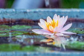Beautiful pink waterlily or lotus flower in a pond with rain dro — Stock Photo