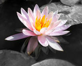 Abstract beautiful pink waterlily or lotus flower in black and w — Stock Photo