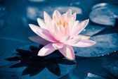Beautiful white lotus in blue duo tone — Stock Photo