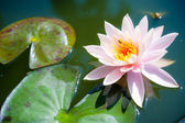 Beautiful pink waterlily or lotus flower in pond — Stock Photo