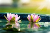 Una hermosa flor nenúfar o loto rosada en estanque — Foto de Stock