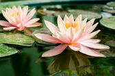 Beautiful lotus or waterlily flower in pond — Stock Photo