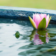 Beautiful Pink Lotus, water plant with reflection in a pond — ストック写真