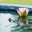 Beautiful Pink Lotus, water plant with reflection in a pond — Stockfoto