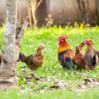 Crowd of Wild fowl, Chicken in jungle — Stock Photo #43783399