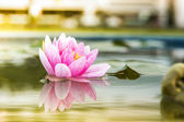 A beautiful pink waterlily or lotus flower in pond on morning su — Stock Photo