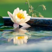 A beautiful yellow waterlily or lotus flower in pond — Stock Photo