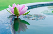 A beautiful pink waterlily or lotus flower in pond — 图库照片