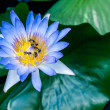 Beautiful purple blue  lotus water lily in pond — Stock Photo #47688563