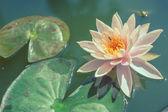 Lotus i dammen med pastell eller vintage stil — Stockfoto