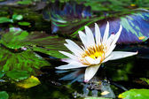 Beautiful white lotus water lily in pond — Stok fotoğraf