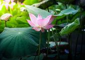 美しいピンクのグランドの蓮の花や水のユリ — ストック写真