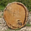 Stock Photo: Sectioned tree trunk