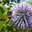 Stock Photo: Bee on allium flower.