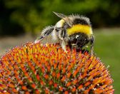 Bee on an echinacea (cone) flower. — Stock Photo