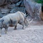 Rhinoceros — Stock Photo #39777005