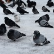 Stock Photo: Pigeons in town