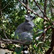 Lemur on the Tree — Foto de stock #40247233