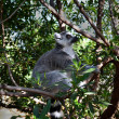 Lemur on the Tree — Foto Stock #40247233