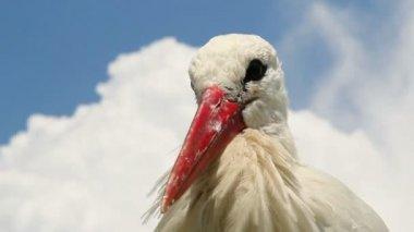 Stork head and beak — Stock Video