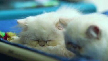White cats sleeping — Stock Video
