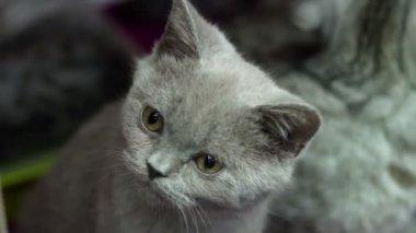 British kitten — Vídeo de Stock