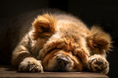 Snooze - Chow-Chow — Stock Photo