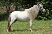 American mini horse — Stock Photo