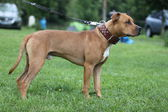 American Pit Bull Terrier — Stock Photo