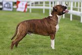 American Staffordshire Terrier Show — Stock Photo