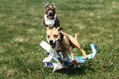 American Staffordshire Terrier Coursing — Stock Photo
