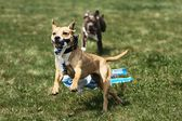 American Staffordshire Terrier Coursing — Stockfoto