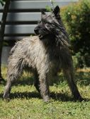 Bouvier des Ardennes — Stock Photo