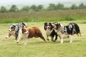 Australian Shepherd running — Stock Photo