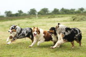 Australian Shepherd running — Stock Photo