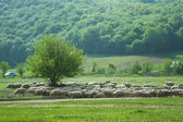 Summer field with flock of sheeps — Стоковое фото