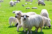 бараны на зеленой траве — Стоковое фото