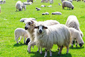 Sheeps on green grass — Stock fotografie