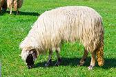 A sheep grazing on field — Stock fotografie