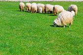 несколько овец на поле — Стоковое фото
