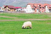 Lonely sheep grazing on field — Stock fotografie