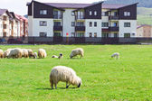 Flock of sheeps near blocks — Stock fotografie