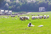 Sheepdog laying near sheeps on field — Stock Photo