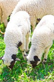 Beautiful lambs on field — Stock fotografie