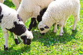 Beautiful lambs on field — Stock Photo