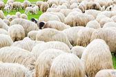 Wiele owiec na pole — Zdjęcie stockowe
