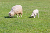 Sheep and white lamb on field — Foto Stock
