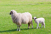 Sheep and white lamb on field — Foto de Stock